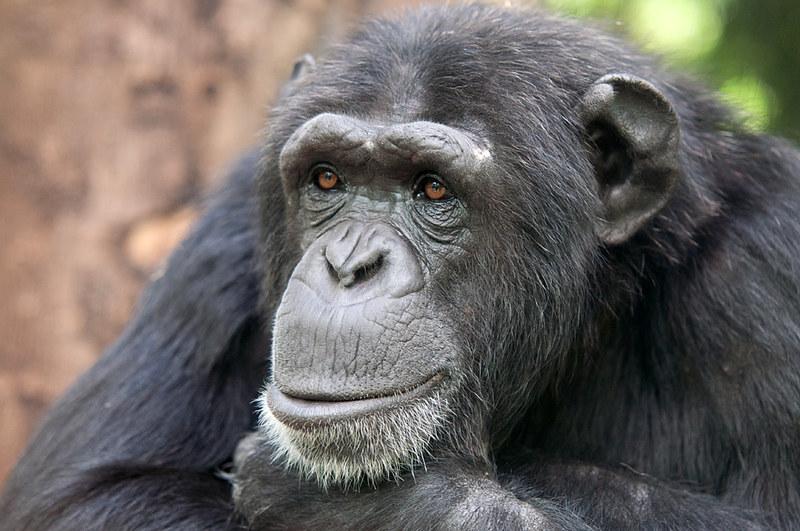 Chimpanzee Amber