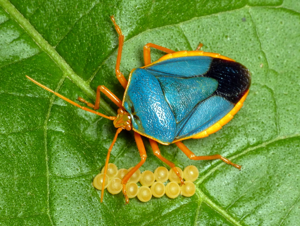 Shield bug with eggs, Edessa rufomarginata, Pentatomidae