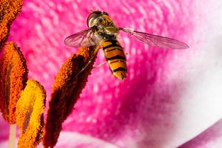 Lily pollen - yum!