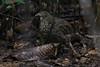 Sri Lanka Junglefowl by Wild Chroma
