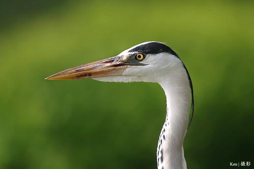 Grey Heron Head Shot | by Ken Goh thanks for 3 Million views