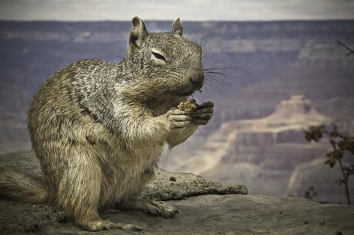 portrait animal landscape us squirrel eating earth grandcanyon nevada canyon terre paysage écureuil squirl etatsunis