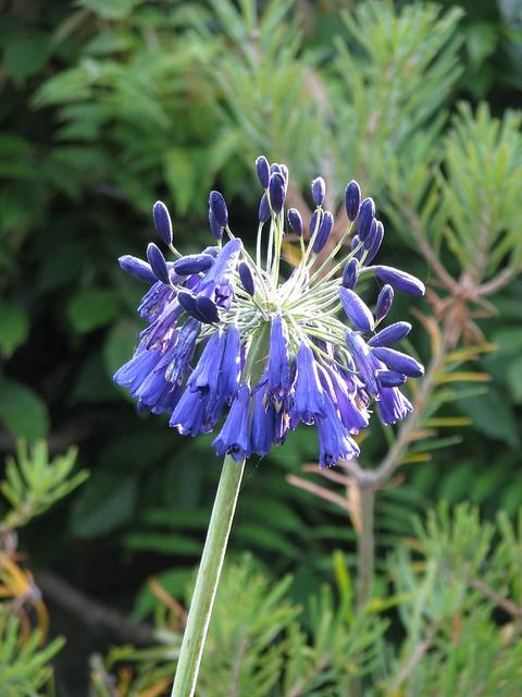 Agapanthus Best Barn Blue