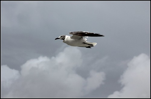 Larus atricilla - Laughing Gull | by cuatrok77