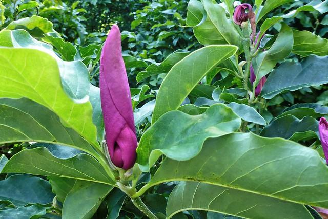 Magnolia in August 01