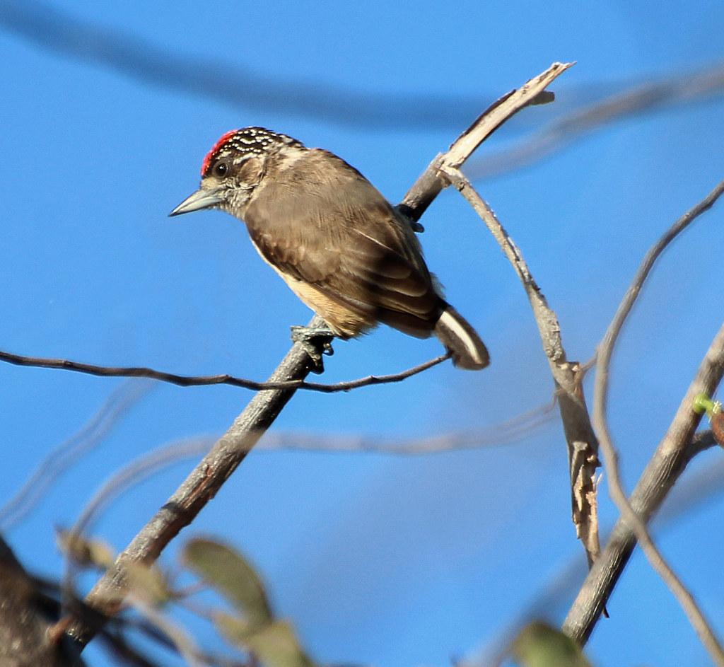 Pica-anão-da-caatinga (Picumnus limae)