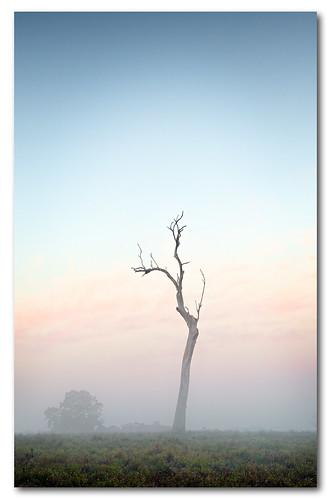 tree fog sunrise dead north foggy richmond hawkesbury