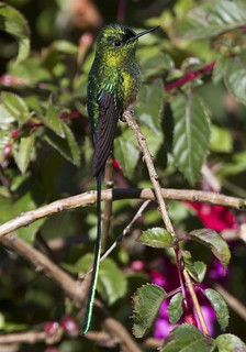 Long-tailed Sylph - Aglaiocercus kingi | by Andy Bunting Photography
