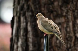 Backyard Visitor - Dove