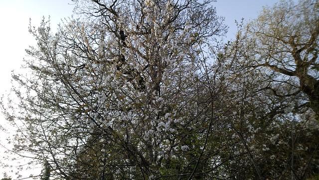 Spring blossom / Blodau'r Gwanyn