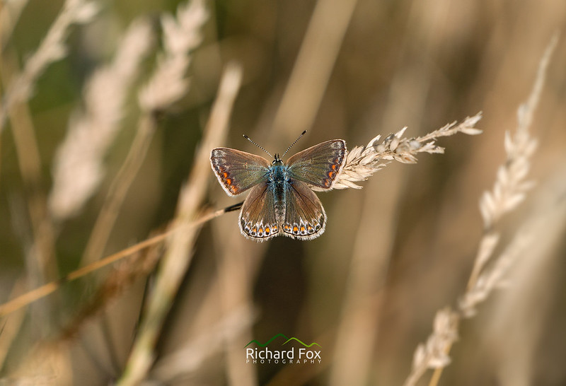 Common Blue ♀