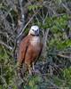Black-collared Hawk (Busarellus nigricollis) Pantanal, Mato Grosso, Brazil 2017 by Ricardo Bitran