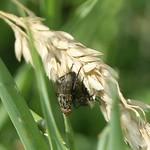 Fleischfliegen (Flesh Fly, Sarcophaga sp.) bei der Paarung