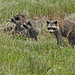 Flickr photo 'Raccoons (Procyon lotor)' by: Mary Keim.