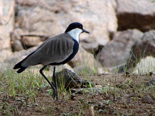 wild bird lapwing plover ethiopia