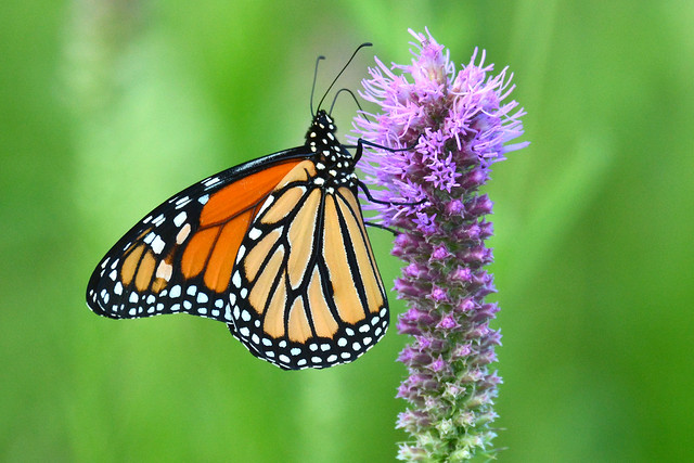 The Daily Monarch