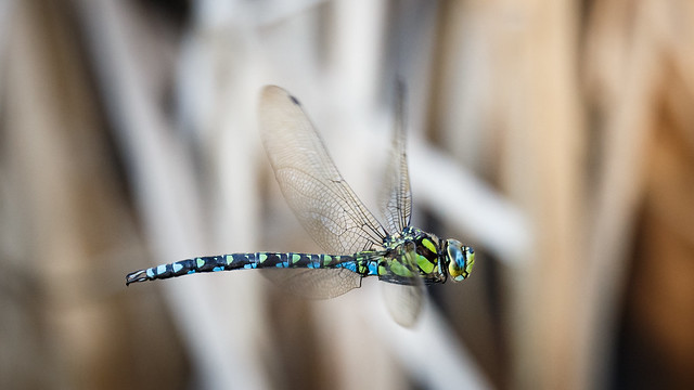 Dragonfly Flying Through The Reeds