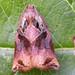 Flickr photo 'Large Fruit-tree Tortrix Archips podana.110607' by: Jamie McMillan.