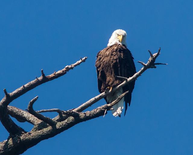 Bald_Eagle_8023_Cypress_Island_San Juans_2012