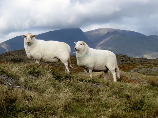 Two South Welsh Mountain Sheep