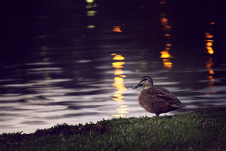 Duck on a pond | by Kelly Hunter