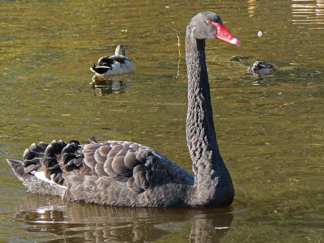 Black Swan, River Leven, Scotland