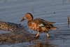 There's mud on your beak, Cinnamon Teal (Anas cyanoptera) by Ron Winkler nature
