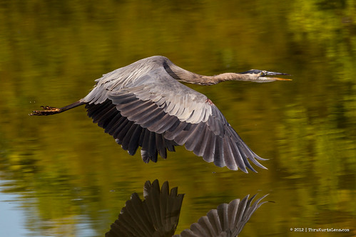 fish heron nature sunrise turkey stars flying fallcolors wildlife waterfalls greatblueheron greategret woodduck peacevalleypark greenheron silkywater dushorepa commerant thrukurtslenscom kurtwecker ricketsglennpa