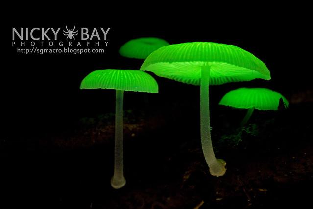 Bioluminescent Fungi (Mycena illuminans) - DSC_8002