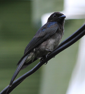White-bellied Drongo | by Wild Chroma