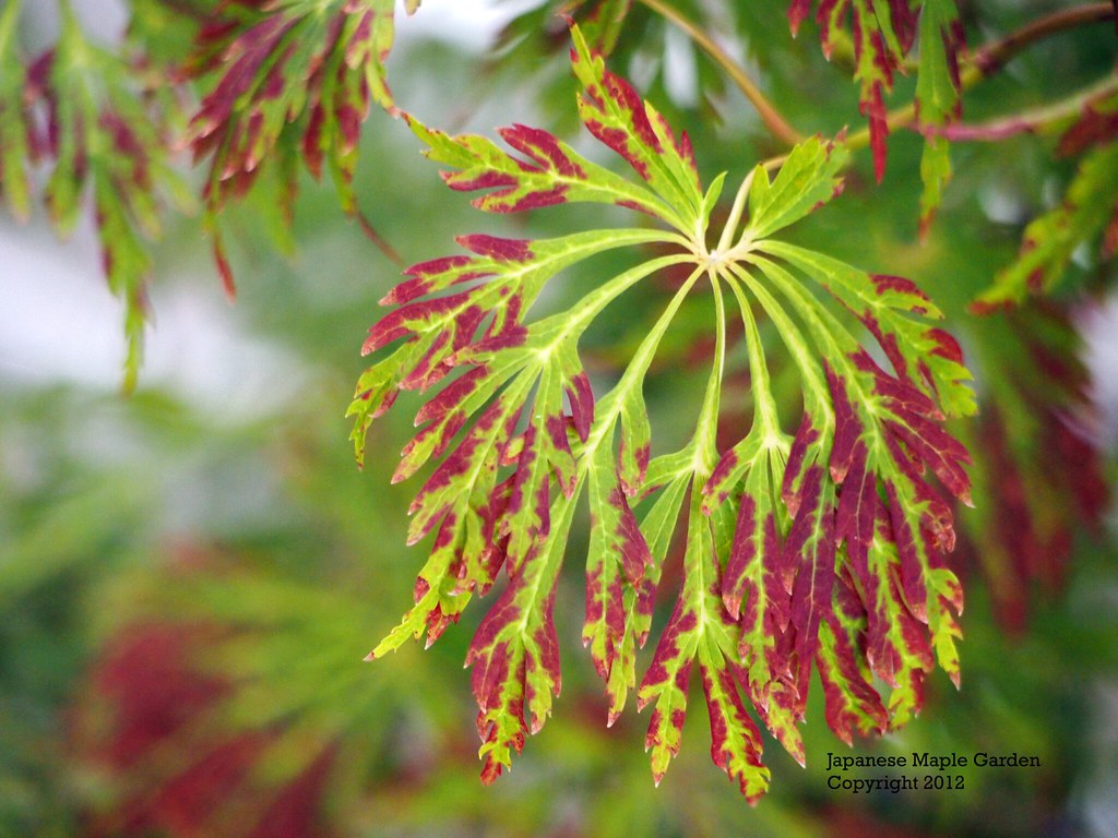 Acer Japonicum Green Cascade Early Fall Color Acer Japo Flickr