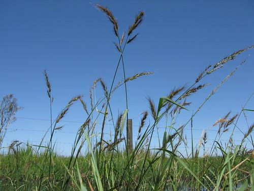 grass native swamp poaceae barnyard echinochloa telmatophila