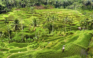 Indonesian Rice Fields | by micebook