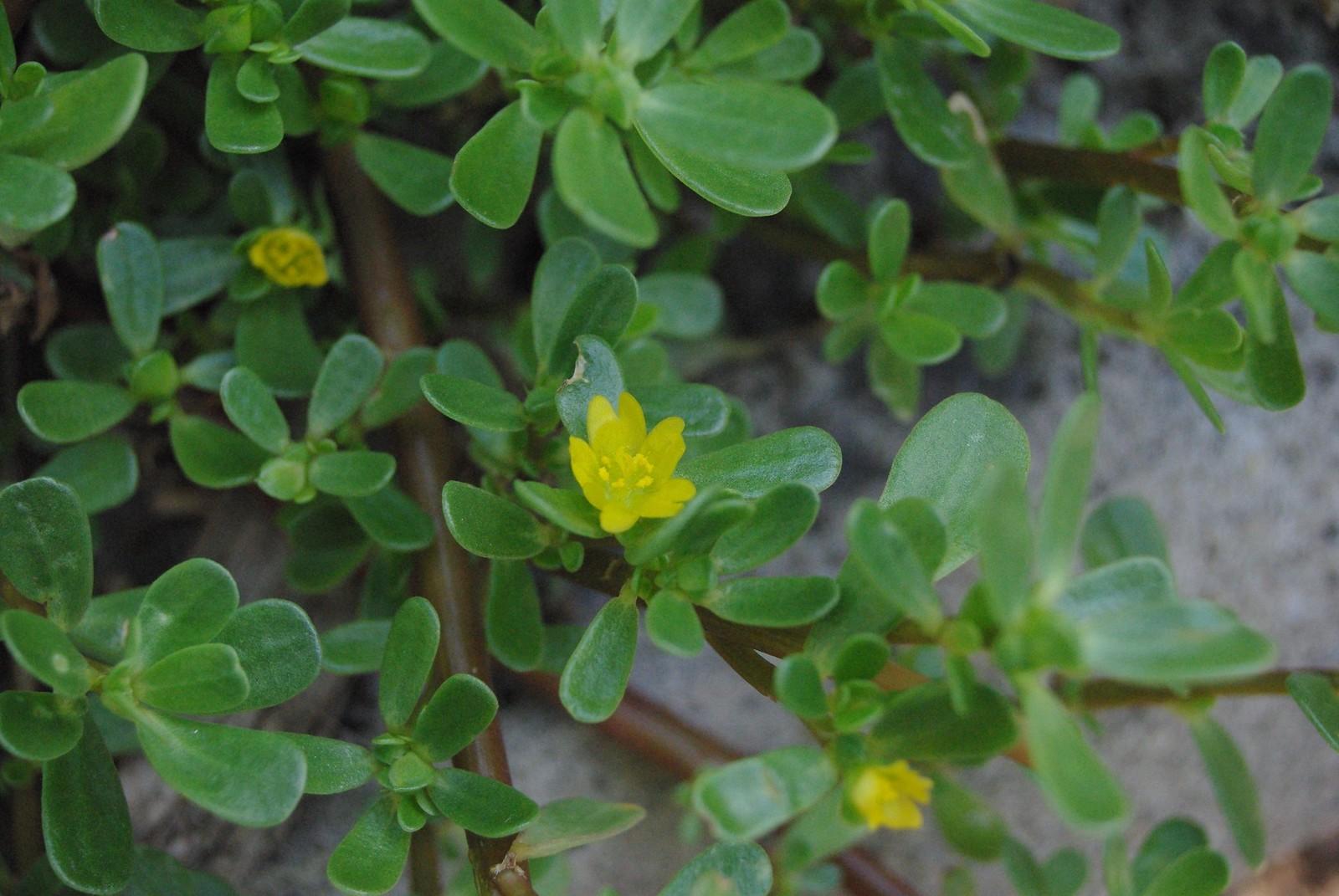 purslane (Portulaca oleracea)