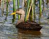 Mottled Duck (Anas fulvigula) by Frank Shufelt