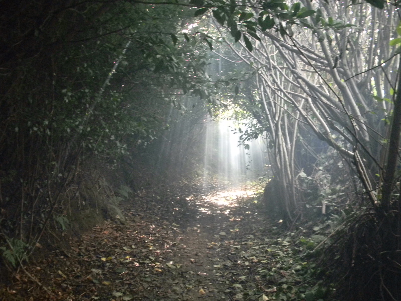 Fairy Dell Smoke drifts though sumbeams in bridleway tunnel. Haslemere Circular