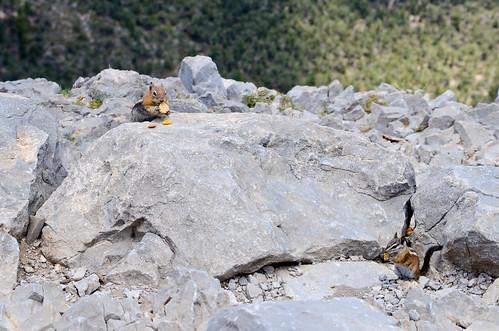 chipmunks mountain mt charleston nevada hiking geocaching animals lasvegasvacation 93793499n00