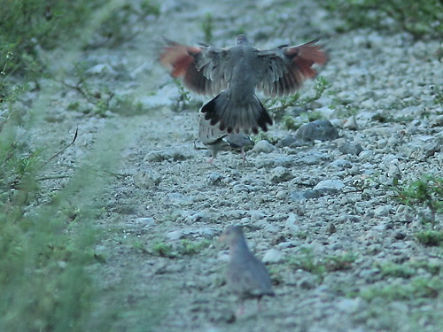 Common Ground-Doves 20121005