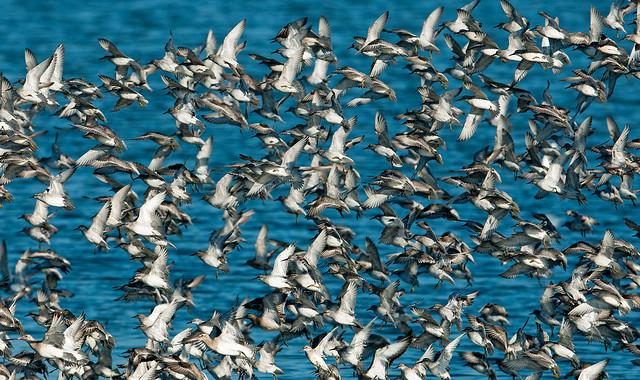 Snettisham Flocks (Barry's)