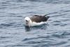010006-IMG_8358 Laysan Albatross (Phoebastria immutabilis) by ajmatthehiddenhouse