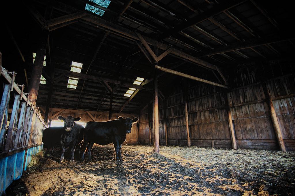 Das Cow