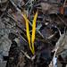 Clavulinopsis laeticolor