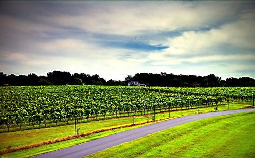 road wine grapes