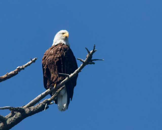 Bald_Eagle_8027_Cypress_Island_San Juans_2012