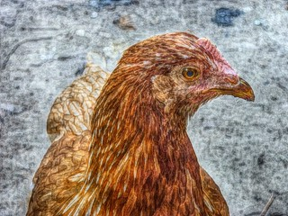 chicken | by normanack