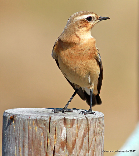 Chasco-cinzento - Northern Wheatear- (Oenanthe oenanthe) | by françois26