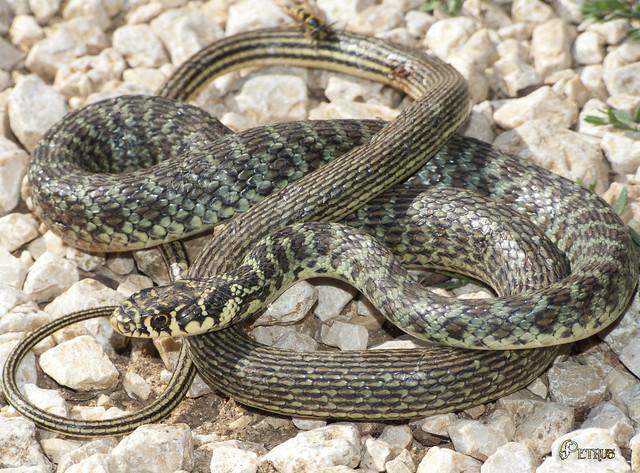 biscia - snake