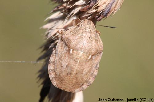 Eurygaster maura | by Joan Quintana (joanillo)