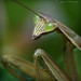 <p>Chinese Mantis (Tenodera sinensis)<br /> <br /> This guy stopped by as I was leaving for work today.<br /> <br /> Got the EFS-60mm for my Bday....still figuring out how to use it.  This is handheld, no flash, in cloudy conditions, and came out WAY better than I expected...nice pop!  Wish me luck!</p>