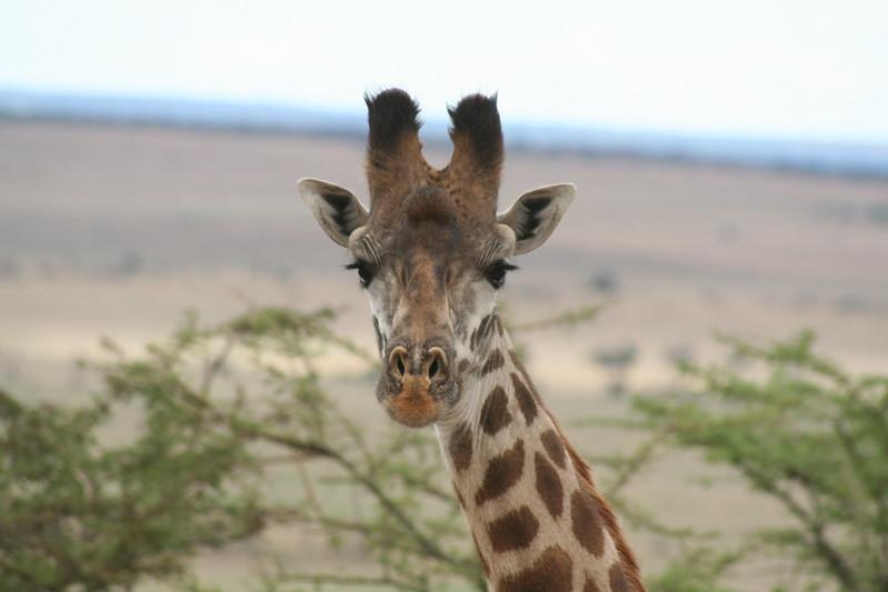 293-20091102_Serengeti_Massai Giraffe(Giraffa camelopardalis tippelskirchi)